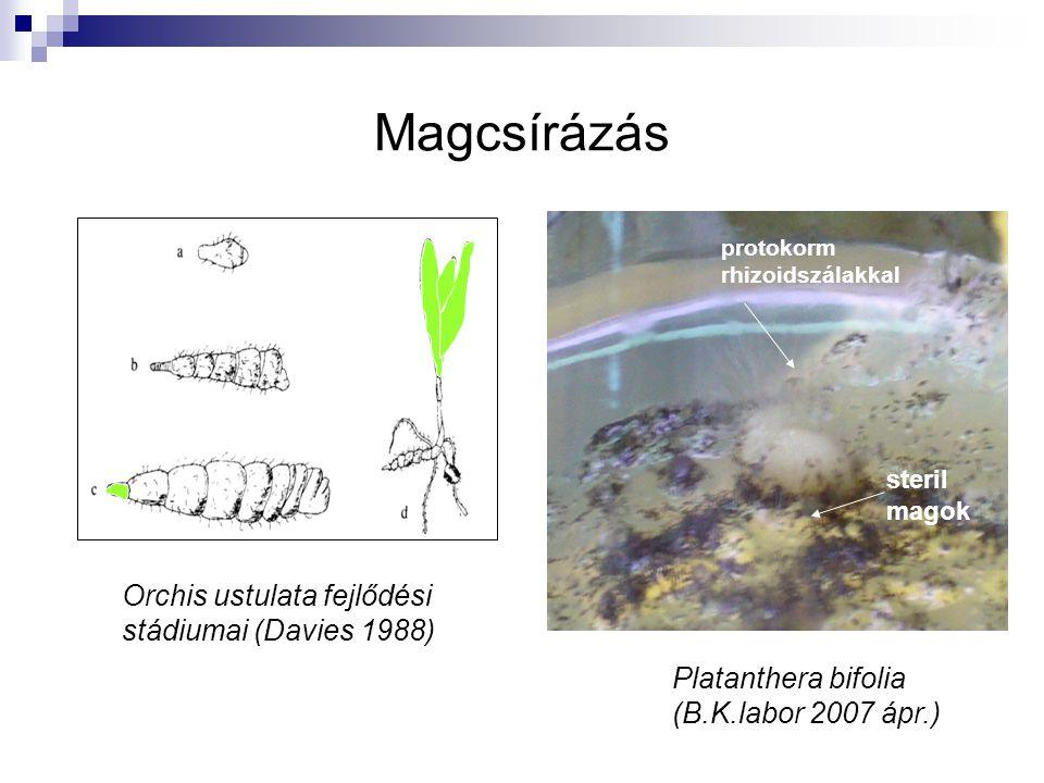 Magcsírázás Orchis ustulata fejlődési stádiumai (Davies 1988) protokorm rhizoidszálakkal steril magok Platanthera bifolia (B.K.labor 2007 ápr.)