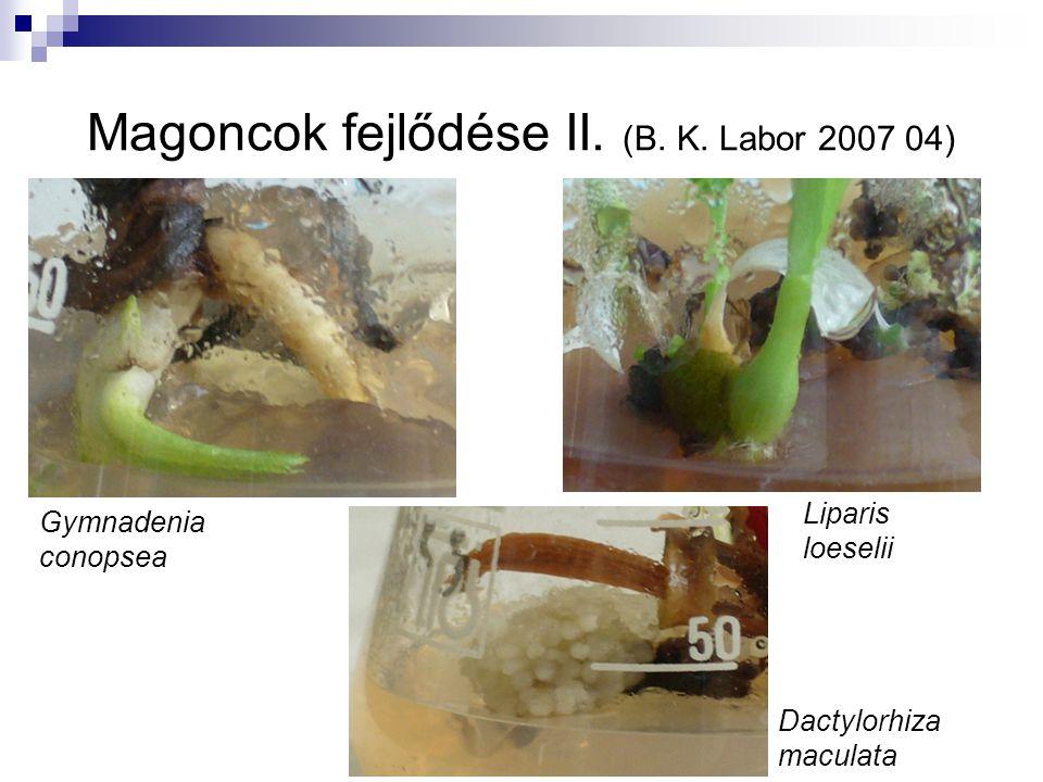 Magoncok fejlődése II. (B. K. Labor 2007 04) Gymnadenia conopsea Liparis loeselii Dactylorhiza maculata