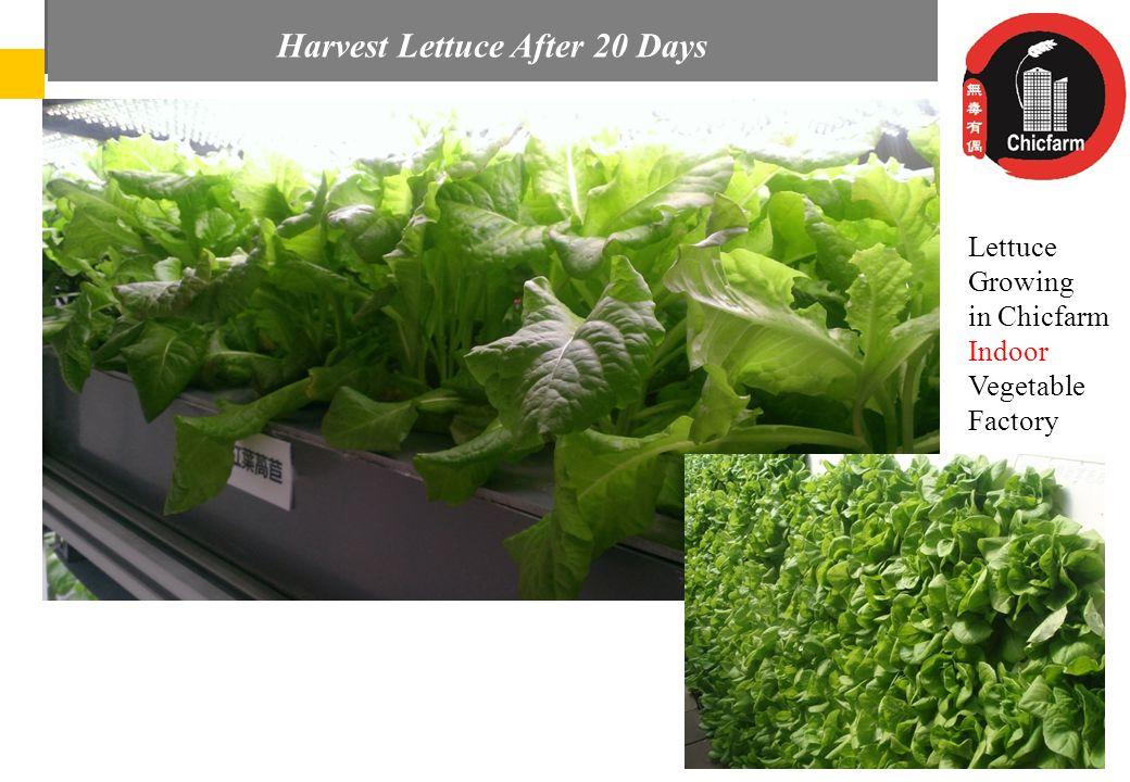 Az Audi Hungaria elvárásai és részvétele a magyar regionális repülőterek fejlesztésében LettuceGrowingin ChicfarmIndoorVegetableFactory Harvest Lettuce After 20 Days