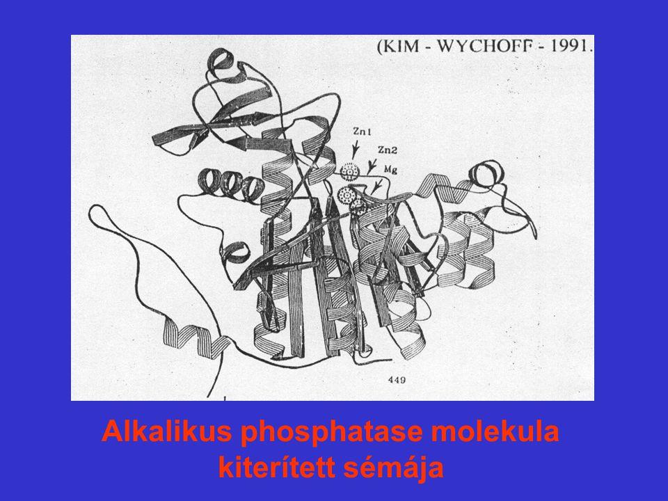 Alkalikus phosphatase molekula kiterített sémája