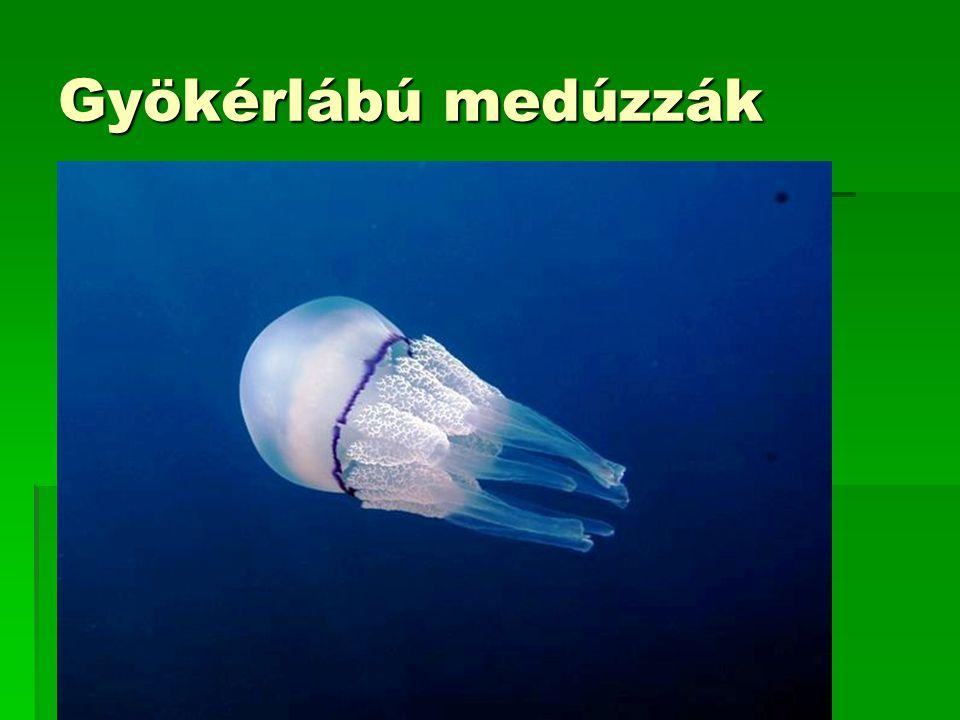 Gyökérlábú medúzzák