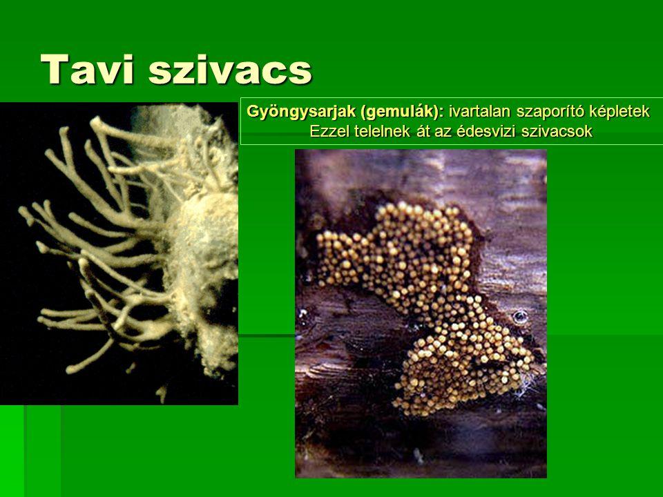 Tavi szivacs Gyöngysarjak (gemulák): ivartalan szaporító képletek Ezzel telelnek át az édesvizi szivacsok