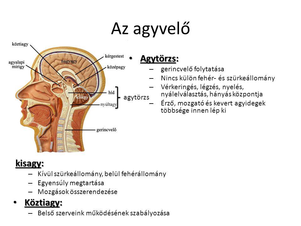 agytörzs Az agyvelő Agytörzs: Agytörzs: – gerincvelő folytatása – Nincs külön fehér- és szürkeállomány – Vérkeringés, légzés, nyelés, nyálelválasztás,