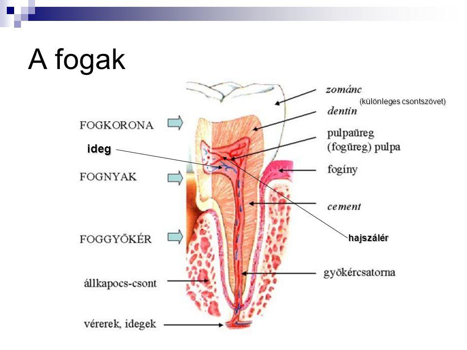 A fogak (különleges csontszövet) hajszálér ideg