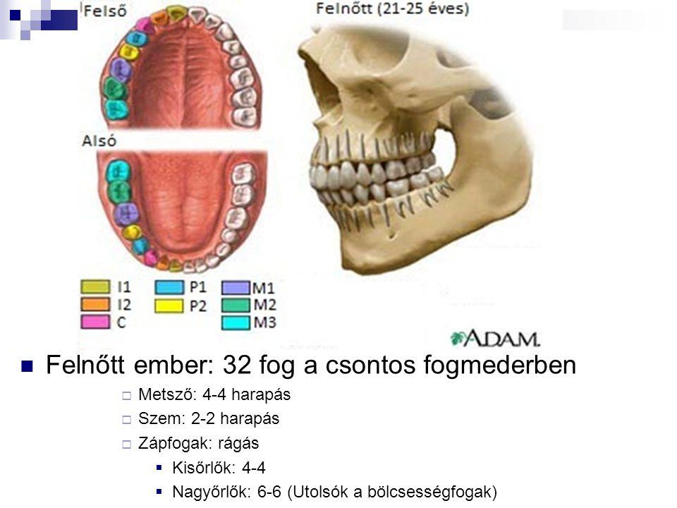 Felnőtt ember: 32 fog a csontos fogmederben  Metsző: 4-4 harapás  Szem: 2-2 harapás  Zápfogak: rágás  Kisőrlők: 4-4  Nagyőrlők: 6-6 (Utolsók a bö