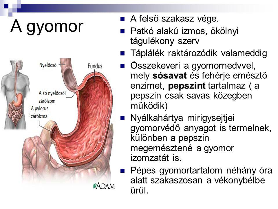 A gyomor A felső szakasz vége. Patkó alakú izmos, ökölnyi tágulékony szerv Táplálék raktározódik valameddig sósavat pepszint Összekeveri a gyomornedvv