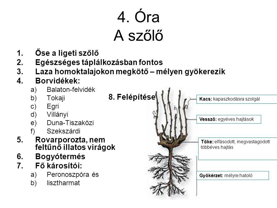 4. Óra A szőlő 1.Őse a ligeti szőlő 2.Egészséges táplálkozásban fontos 3.Laza homoktalajokon megkötő – mélyen gyökerezik 4.Borvidékek: a)Balaton-felvi