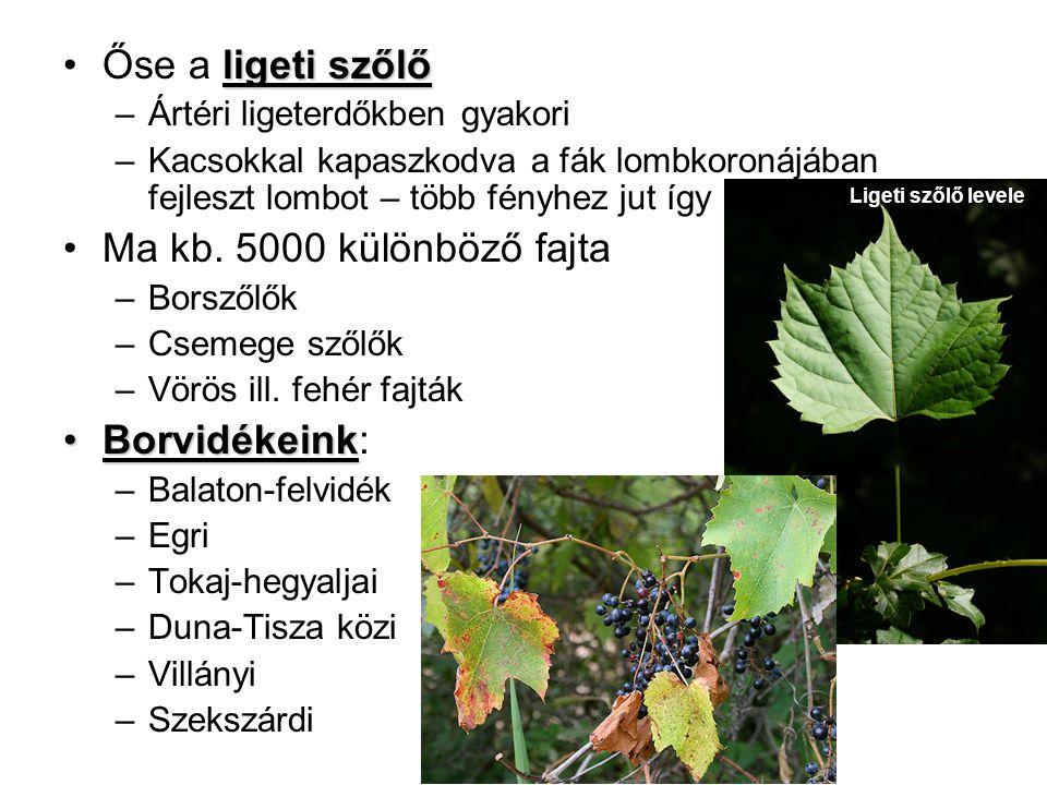 ligeti szőlőŐse a ligeti szőlő –Ártéri ligeterdőkben gyakori –Kacsokkal kapaszkodva a fák lombkoronájában fejleszt lombot – több fényhez jut így Ma kb.