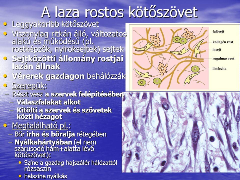 A laza rostos kötőszövet Leggyakoribb kötőszövet Leggyakoribb kötőszövet Viszonylag ritkán álló, változatos alakú és működésű (pl. rostképzők, nyiroks