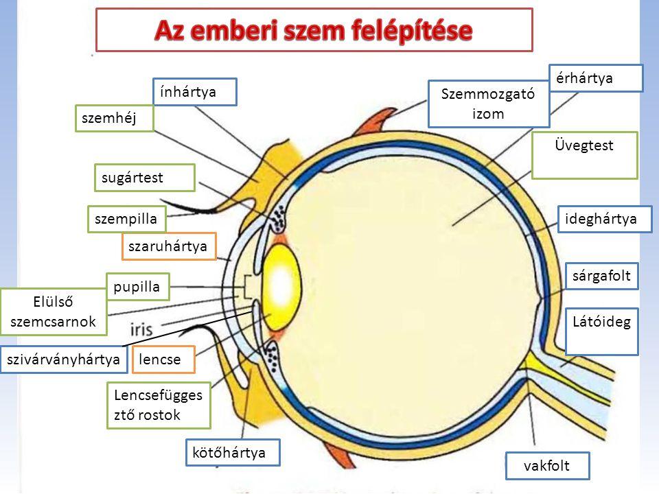 ínhártya ideghártya érhártya szaruhártya pupilla Elülső szemcsarnok szivárványhártyalencse Lencsefügges ztő rostok kötőhártya szemhéj sugártest szempi