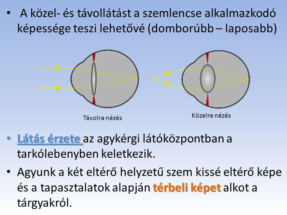 A közel- és távollátást a szemlencse alkalmazkodó képessége teszi lehetővé (domborúbb – laposabb) Látás érzete Látás érzete az agykérgi látóközpontban