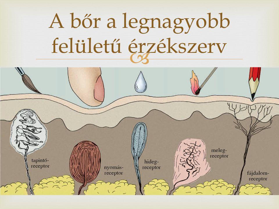   Tapintás – nyomás (erősebb, receptorok mélyebben)  Meleg – hideg (több)  Csupasz idegvégződések – fájdalom  Receptorok eloszlása nem egyenletes a bőrben: újbegyenajkakon  Legsűrűbben az újbegyen és az ajkakon  Legritkábban a háton és a lábszáron Receptorok a bőrben
