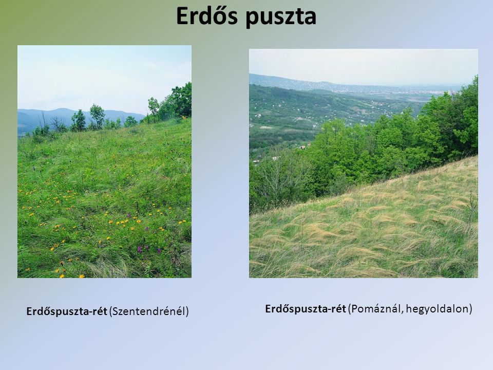 Mára a természetes növénytársulások helyét szinte teljesen felváltották a szántóföldek Alföld és a Kisalföld kultúrtájjá Középhegységek, dombvidékek → erdők borítják (18-19%- ban) → többségükben telepített erdők → őshonos erdők: Bakony, Soproni-hegység, Kőszegi-hegység: luc-, erdei-, vörösfenyő → alacsonyabb, melegebb helyeken: tölgyes → magasabb, hűvösebb helyeken: bükkös → Mecsekben megtalálhatók a mediterrán fajok ( pirítógyökér, rozsdás gyűszűvirág, majomkosbor, lónyelvű csodabogyó)
