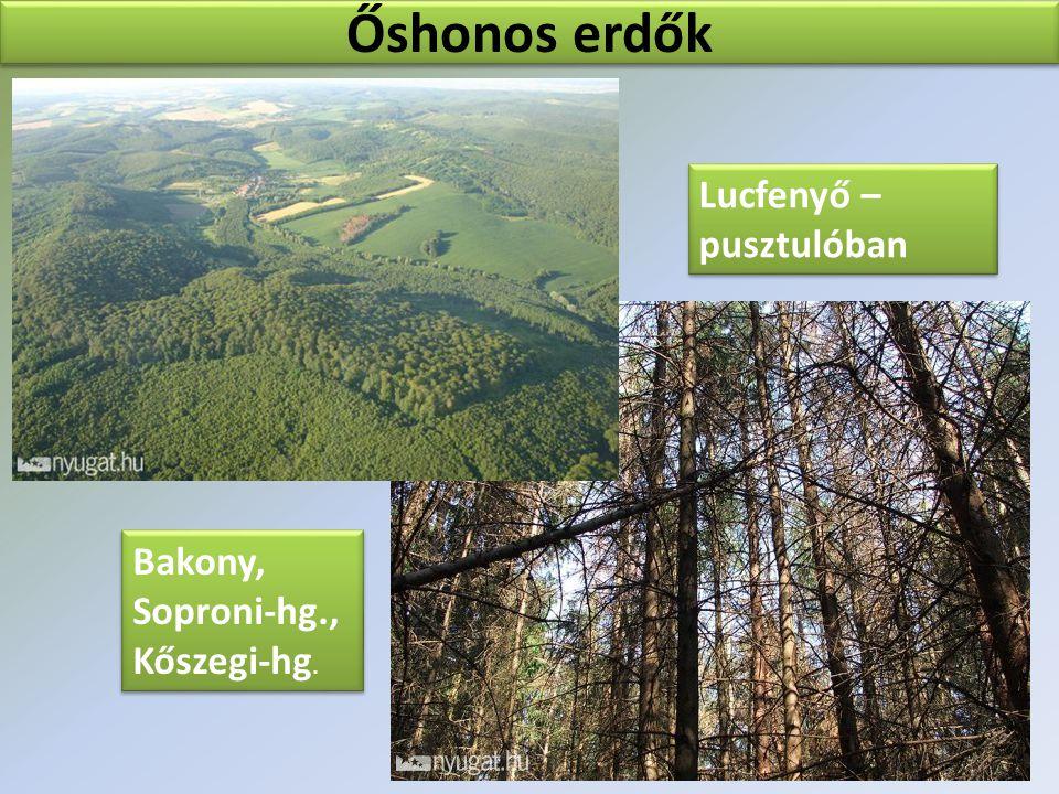 Őshonos erdők Lucfenyő – pusztulóban Lucfenyő – pusztulóban Bakony, Soproni-hg., Kőszegi-hg. Bakony, Soproni-hg., Kőszegi-hg.