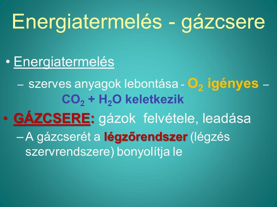 Energiatermelés - gázcsere Energiatermelés – szerves anyagok lebontása - O 2 igényes – CO 2 + H 2 O keletkezik GÁZCSERE:GÁZCSERE: gázok felvétele, leadása légzőrendszer –A gázcserét a légzőrendszer (légzés szervrendszere) bonyolítja le