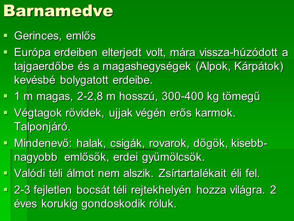 Barnamedve  Gerinces, emlős  Európa erdeiben elterjedt volt, mára vissza-húzódott a tajgaerdőbe és a magashegységek (Alpok, Kárpátok) kevésbé bolyga
