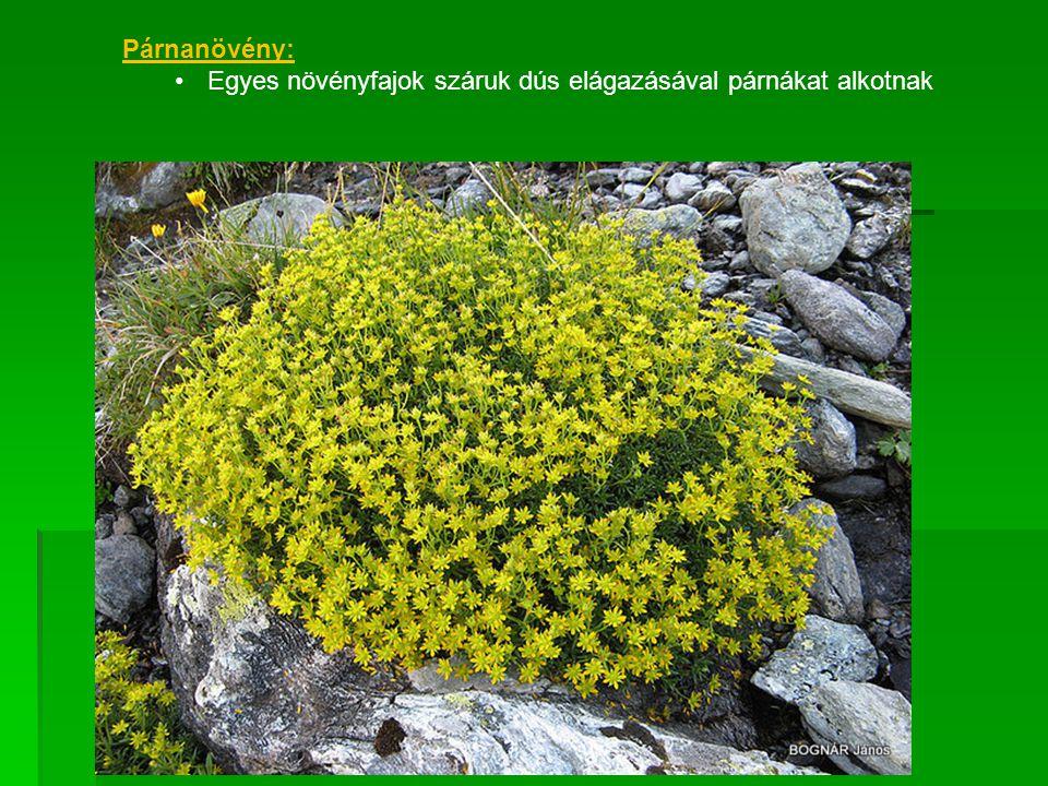 Párnanövény: Egyes növényfajok száruk dús elágazásával párnákat alkotnak