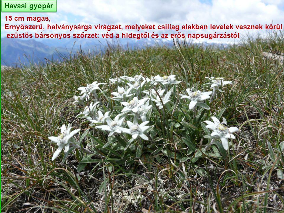 Havasi gyopár 15 cm magas, Ernyőszerű, halványsárga virágzat, melyeket csillag alakban levelek vesznek körül ezüstös bársonyos szőrzet: véd a hidegtől
