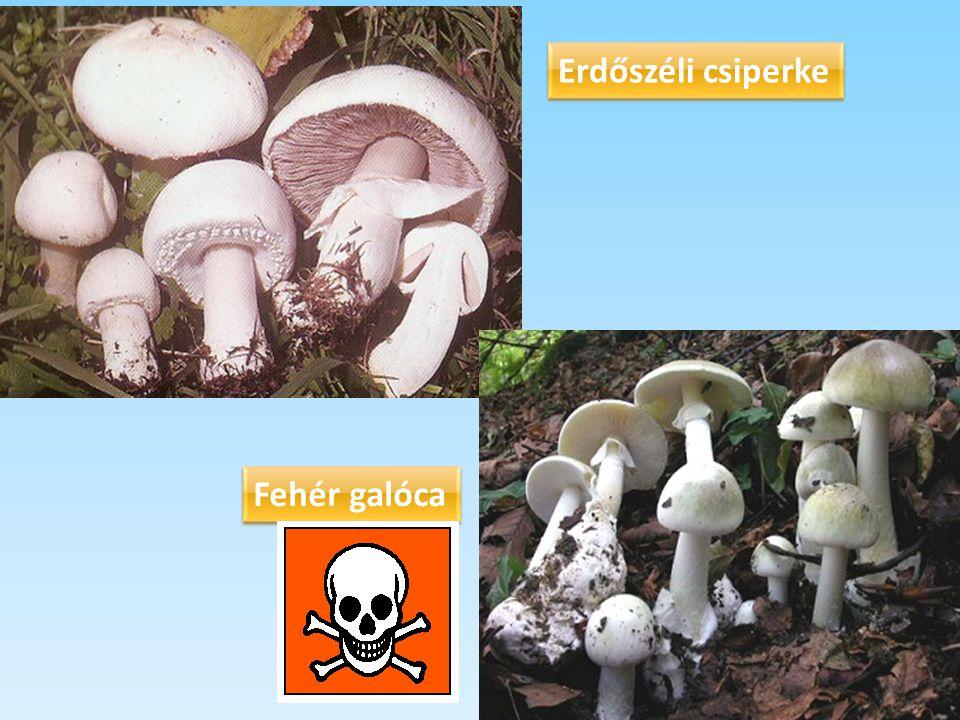 Erdőszéli csiperke Fehér galóca