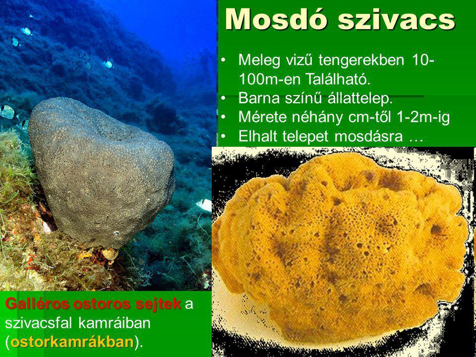Mosdó szivacs Meleg vizű tengerekben 10- 100m-en Található.