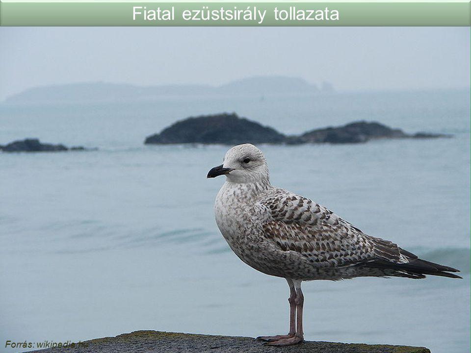 Fiatal ezüstsirály tollazata Forrás: wikipedia.hu