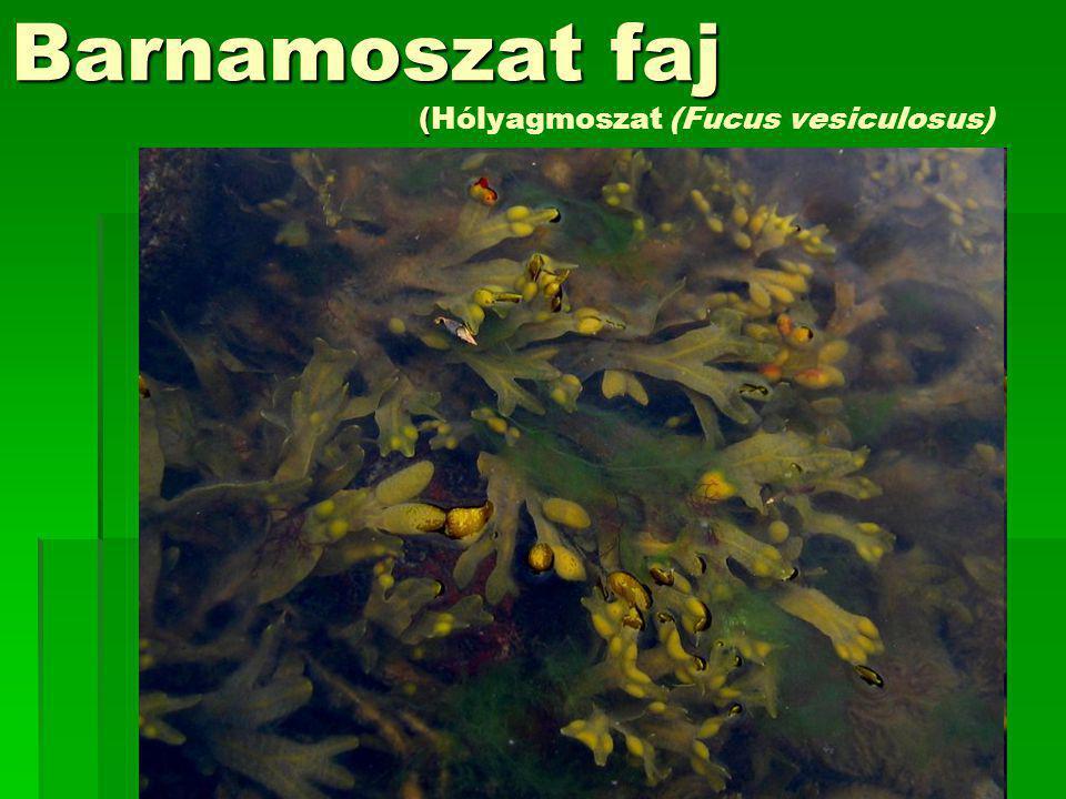 Barnamoszat faj ( Barnamoszat faj (Hólyagmoszat (Fucus vesiculosus)