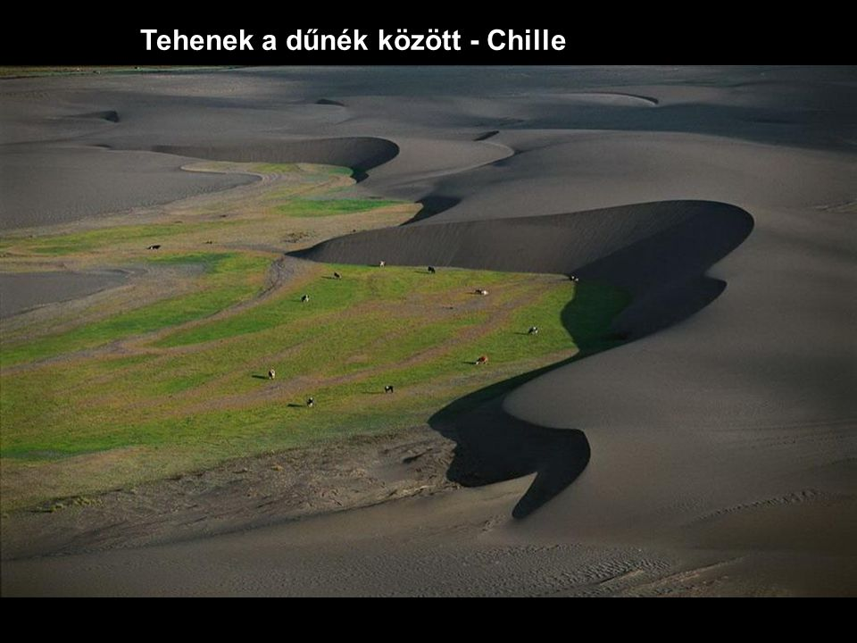 Tehenek a dűnék között - Chille