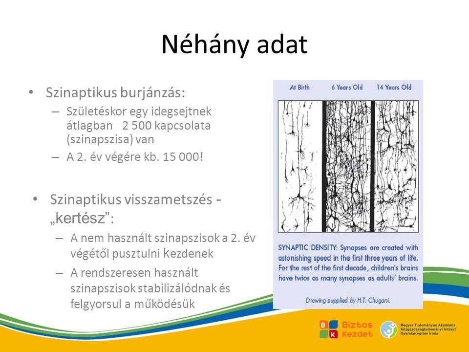 Néhány adat Szinaptikus burjánzás: – Születéskor egy idegsejtnek átlagban 2 500 kapcsolata (szinapszisa) van – A 2. év végére kb. 15 000! Szinaptikus