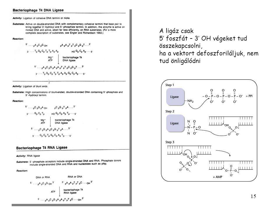 15 A ligáz csak 5' foszfát – 3' OH végeket tud összekapcsolni, ha a vektort defoszforiláljuk, nem tud önligálódni