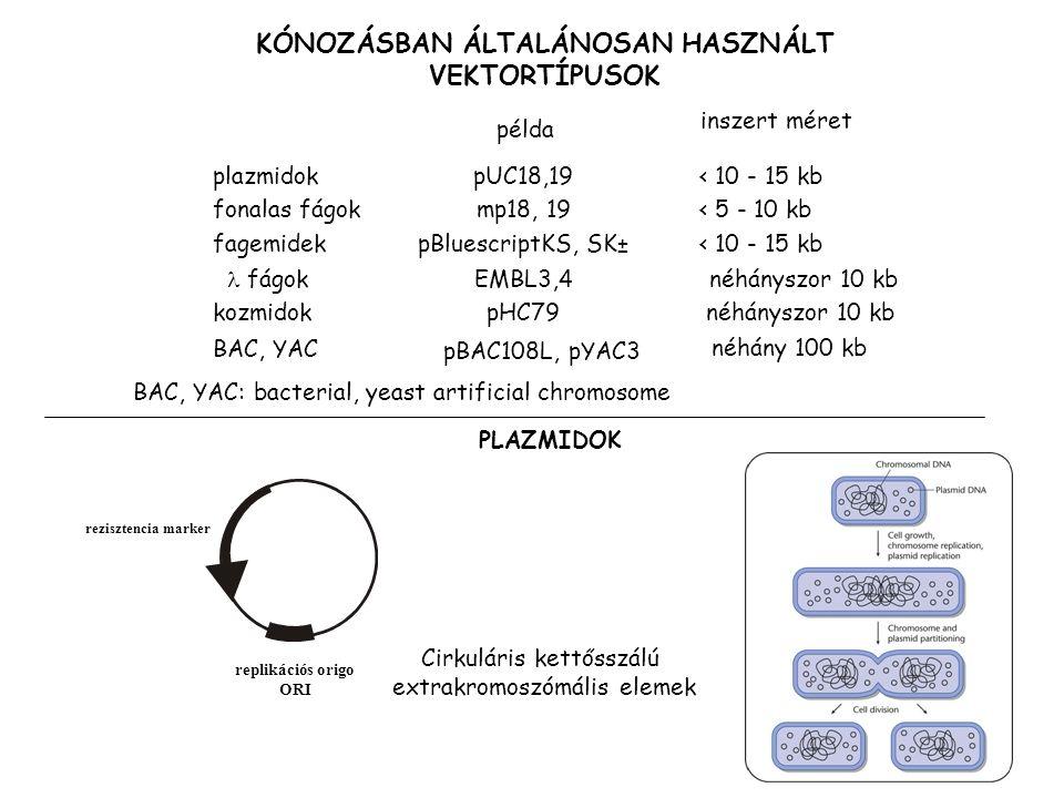 21 KÓNOZÁSBAN ÁLTALÁNOSAN HASZNÁLT VEKTORTÍPUSOK példa inszert méret plazmidokpUC18,19< 10 - 15 kb fonalas fágokmp18, 19< 5 - 10 kb fagemidekpBluescri