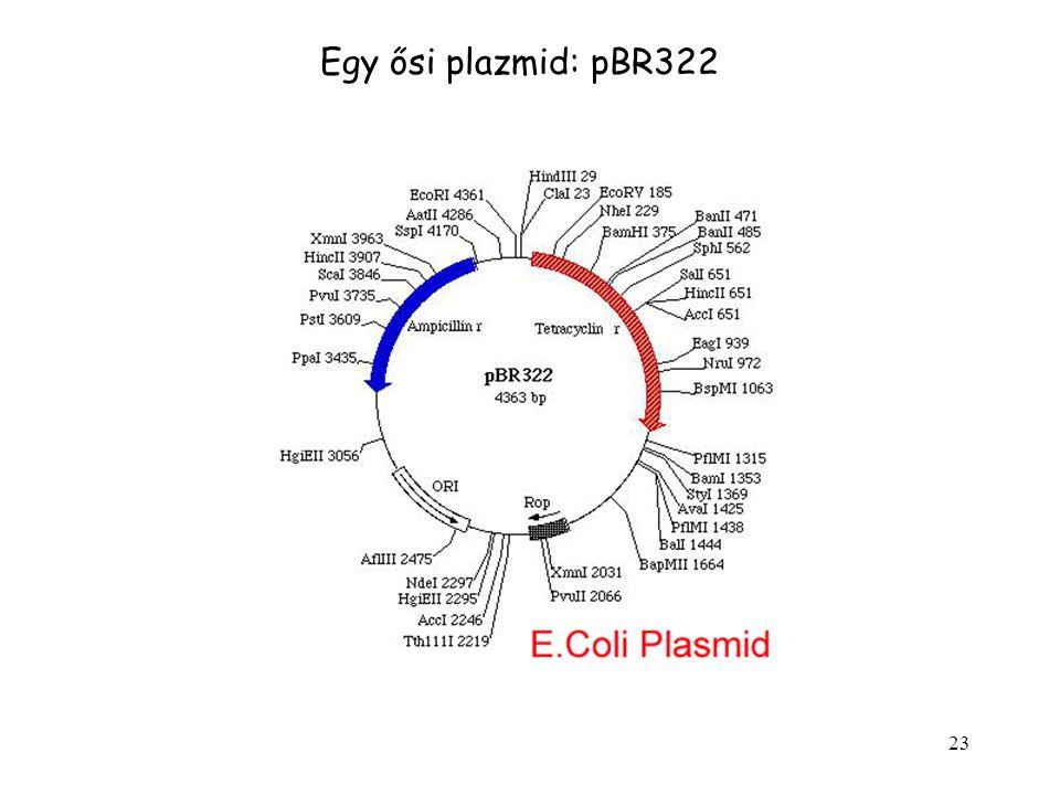 23 Egy ősi plazmid: pBR322