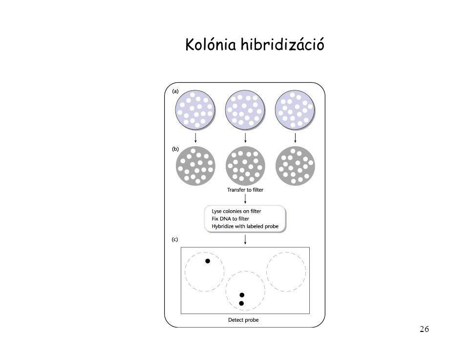 26 Kolónia hibridizáció