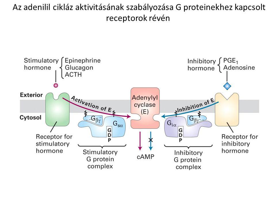 Az adenilil cikláz aktivitásának szabályozása G proteinekhez kapcsolt receptorok révén