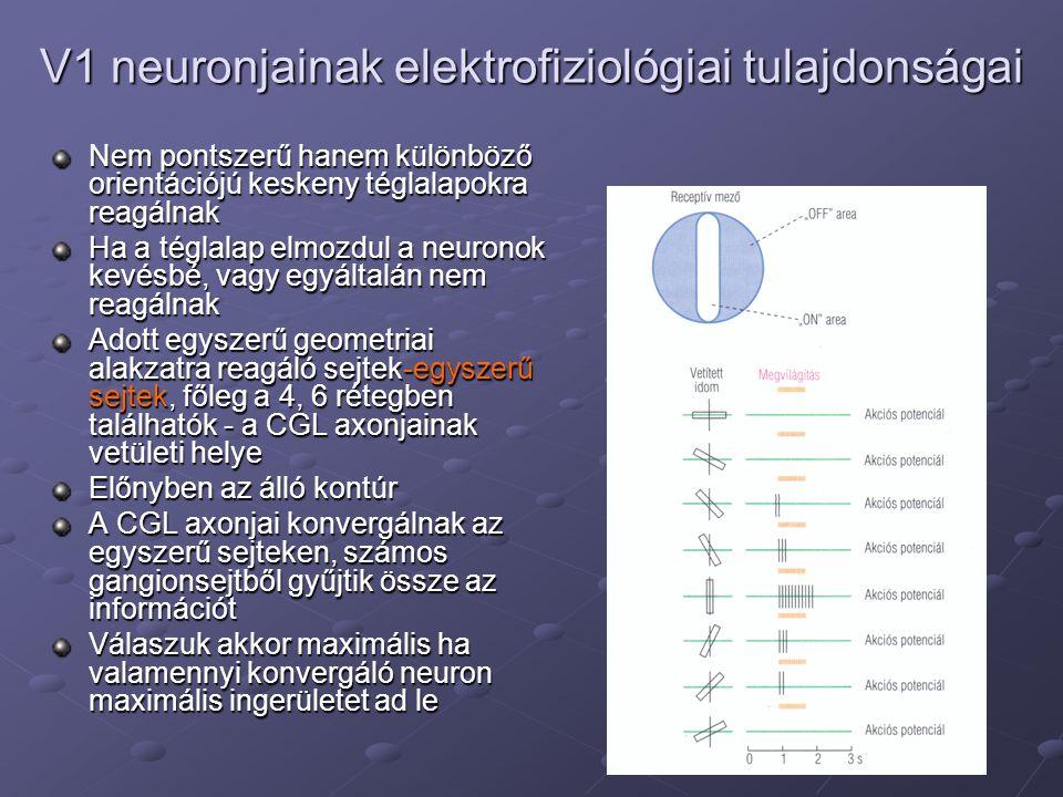 V1 neuronjainak elektrofiziológiai tulajdonságai Nem pontszerű hanem különböző orientációjú keskeny téglalapokra reagálnak Ha a téglalap elmozdul a neuronok kevésbé, vagy egyáltalán nem reagálnak Adott egyszerű geometriai alakzatra reagáló sejtek-egyszerű sejtek, főleg a 4, 6 rétegben találhatók - a CGL axonjainak vetületi helye Előnyben az álló kontúr A CGL axonjai konvergálnak az egyszerű sejteken, számos gangionsejtből gyűjtik össze az információt Válaszuk akkor maximális ha valamennyi konvergáló neuron maximális ingerületet ad le