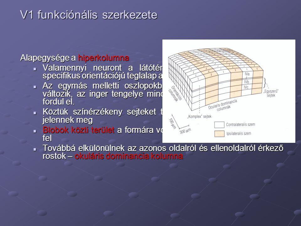 V1 funkciónális szerkezete Alapegysége a hiperkolumna Alapegysége a hiperkolumna Valamennyi neuront a látótér azonos részén elhelyezkedő specifikus or