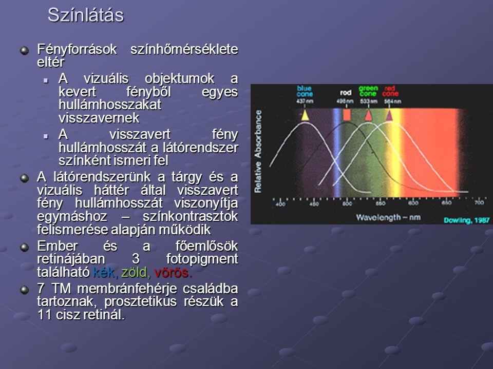 Színlátás Fényforrások színhőmérséklete eltér A vizuális objektumok a kevert fényből egyes hullámhosszakat visszavernek A vizuális objektumok a kevert fényből egyes hullámhosszakat visszavernek A visszavert fény hullámhosszát a látórendszer színként ismeri fel A visszavert fény hullámhosszát a látórendszer színként ismeri fel A látórendszerünk a tárgy és a vizuális háttér által visszavert fény hullámhosszát viszonyítja egymáshoz – színkontrasztok felismerése alapján működik Ember és a főemlősök retinájában 3 fotopigment található kék, zöld, vörös.