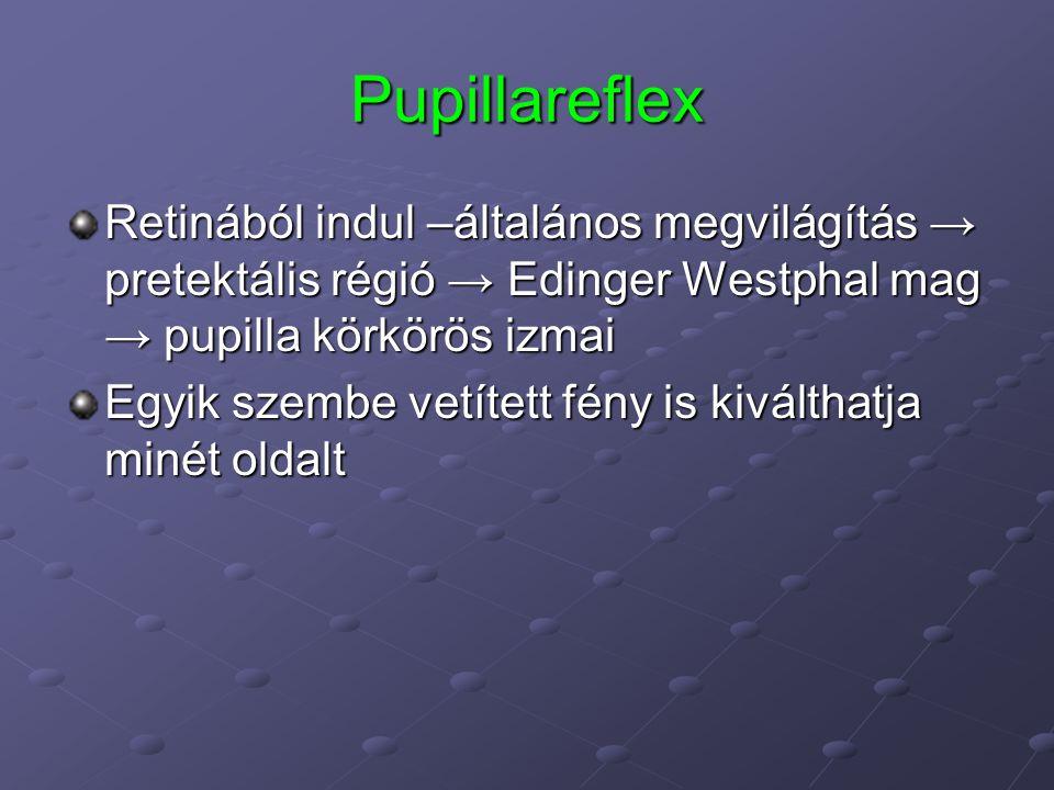 Pupillareflex Retinából indul –általános megvilágítás → pretektális régió → Edinger Westphal mag → pupilla körkörös izmai Egyik szembe vetített fény is kiválthatja minét oldalt