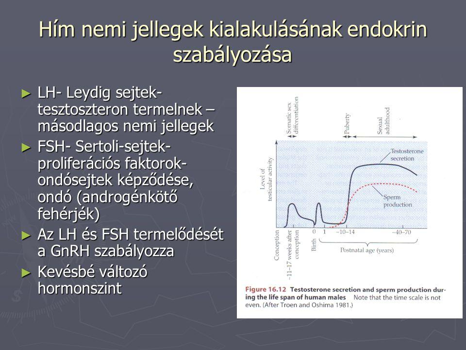 Hím nemi jellegek kialakulásának endokrin szabályozása ► LH- Leydig sejtek- tesztoszteron termelnek – másodlagos nemi jellegek ► FSH- Sertoli-sejtek-