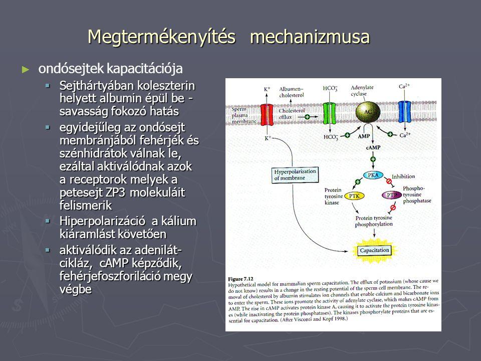Megtermékenyítés mechanizmusa ► ► ondósejtek kapacitációja  Sejthártyában koleszterin helyett albumin épül be - savasság fokozó hatás  egyidejűleg a