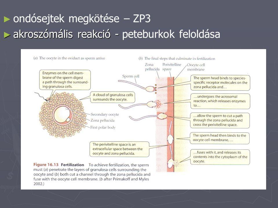 ► ► ondósejtek megkötése – ZP3 ► akroszómális reakció - ► akroszómális reakció - peteburkok feloldása