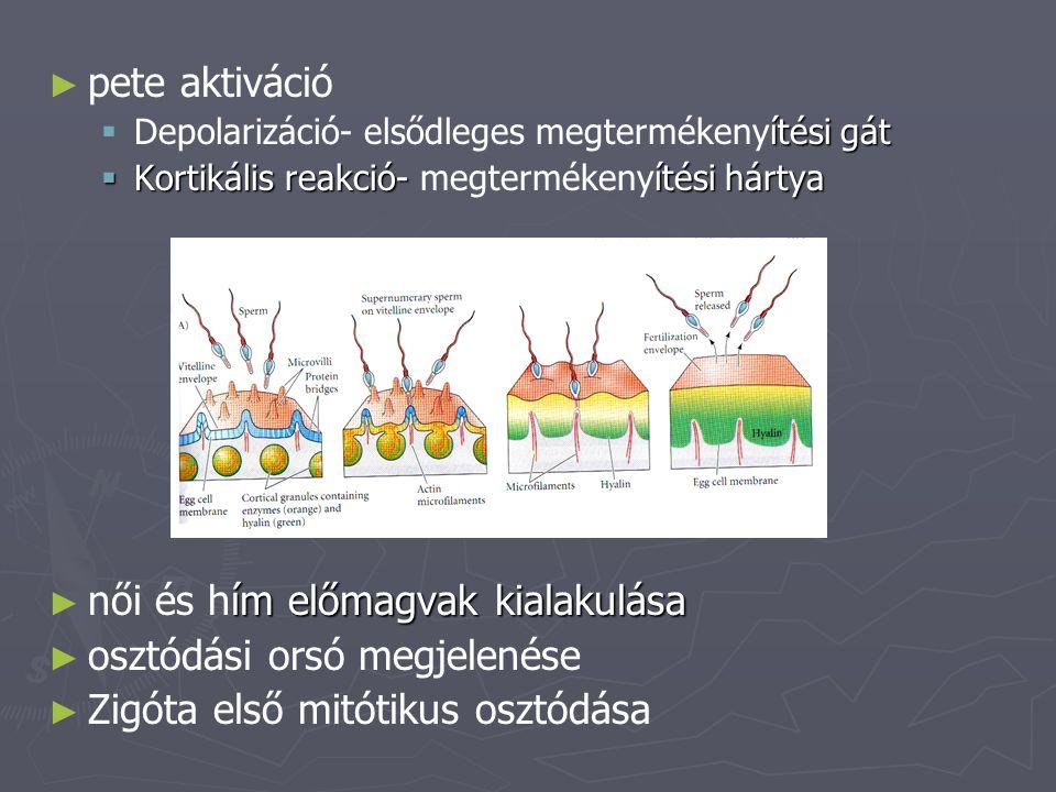 ► ► pete aktiváció  ítési gát  Depolarizáció- elsődleges megtermékenyítési gát  Kortikális reakció-ítési hártya  Kortikális reakció- megtermékenyí