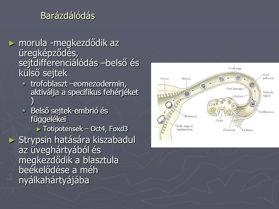 Barázdálódás ► morula -megkezdődik az üregképződés, sejtdifferenciálódás –belső és külső sejtek  trofoblaszt –eomezodermin, aktiválja a specifikus fe