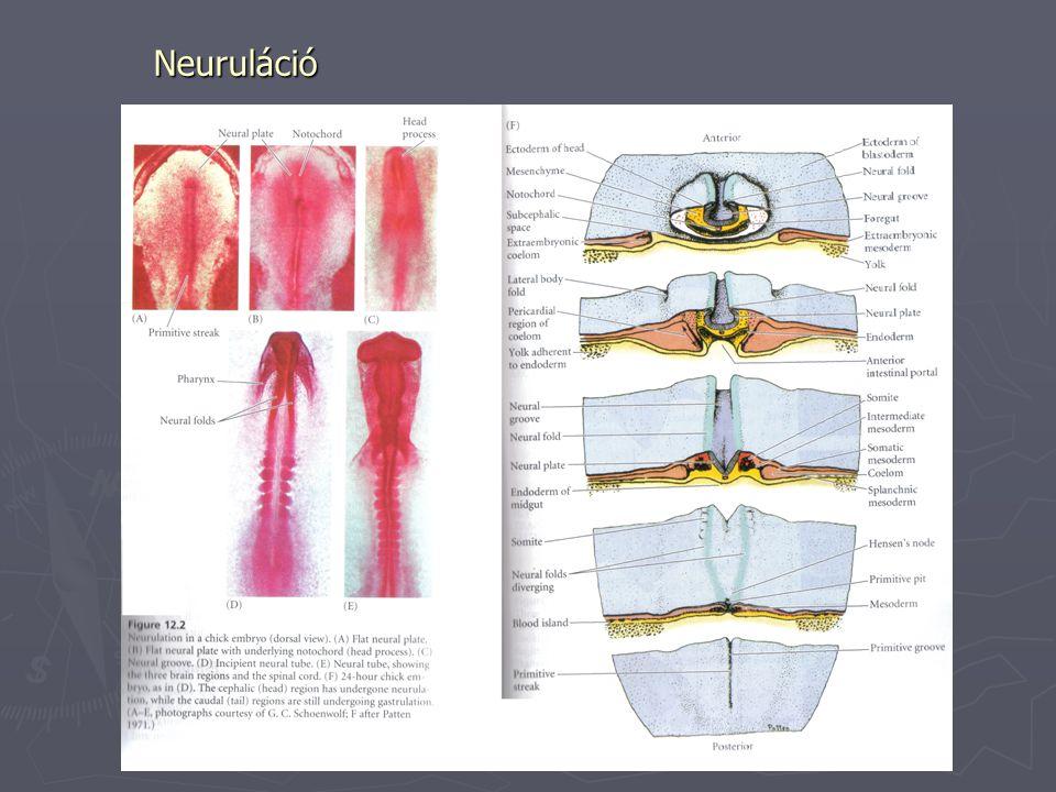 Neuruláció