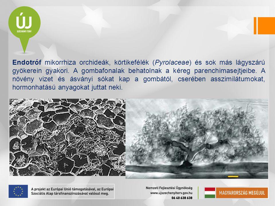 Endotróf mikorrhiza orchideák, körtikefélék (Pyrolaceae) és sok más lágyszárú gyökerein gyakori.
