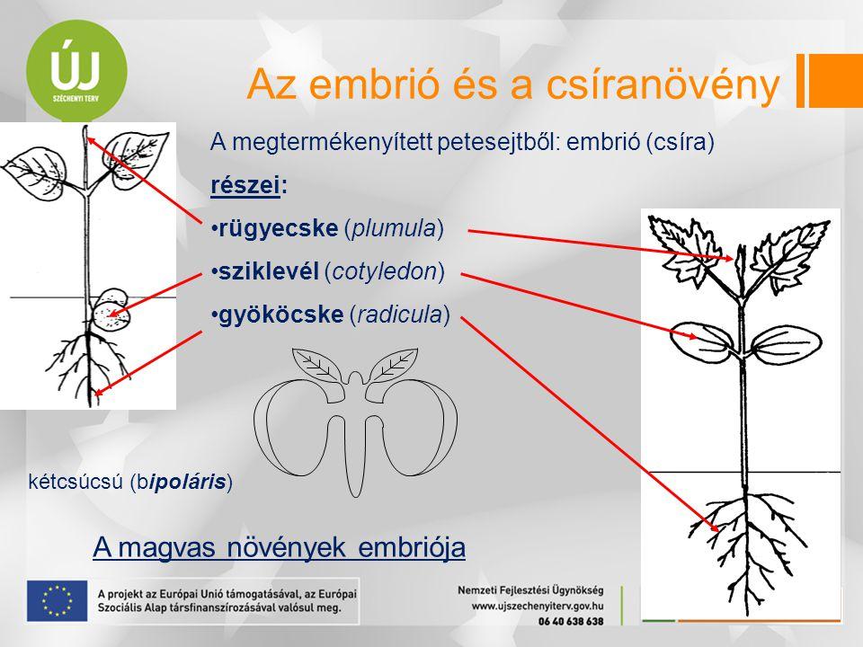 A megtermékenyített petesejtből: embrió (csíra) részei: rügyecske (plumula) sziklevél (cotyledon) gyököcske (radicula) A magvas növények embriója kétcsúcsú (bipoláris) Az embrió és a csíranövény