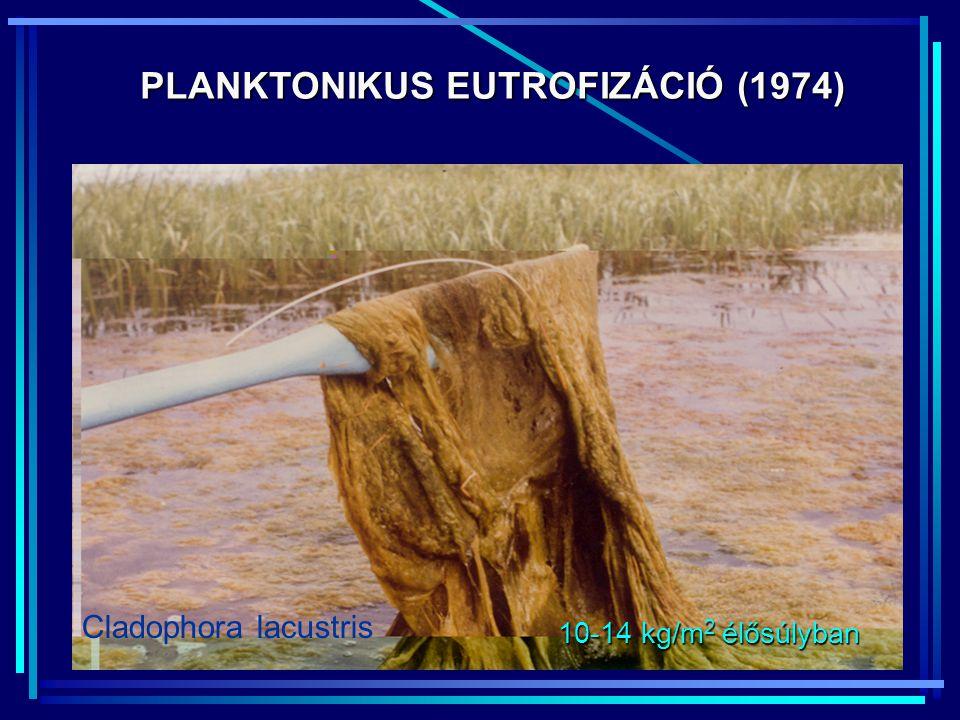 PLANKTONIKUS EUTROFIZÁCIÓ (1974) 10-14 kg/m 2 élősúlyban Cladophora lacustris