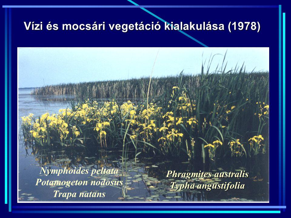 Vízi és mocsári vegetáció kialakulása (1978) Phragmites australis Typha angustifolia Nymphoides peltata Potamogeton nodosus Trapa natans