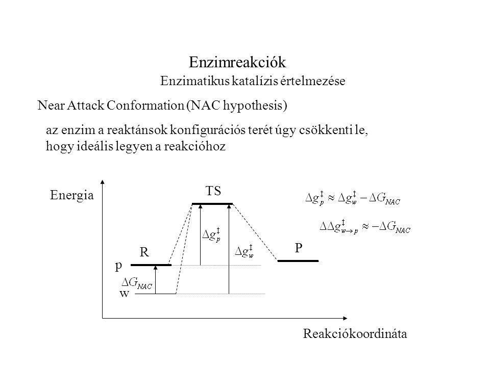 Enzimreakciók Enzimatikus katalízis értelmezése Near Attack Conformation (NAC hypothesis) az enzim a reaktánsok konfigurációs terét úgy csökkenti le, hogy ideális legyen a reakcióhoz TS R P Reakciókoordináta Energia w p