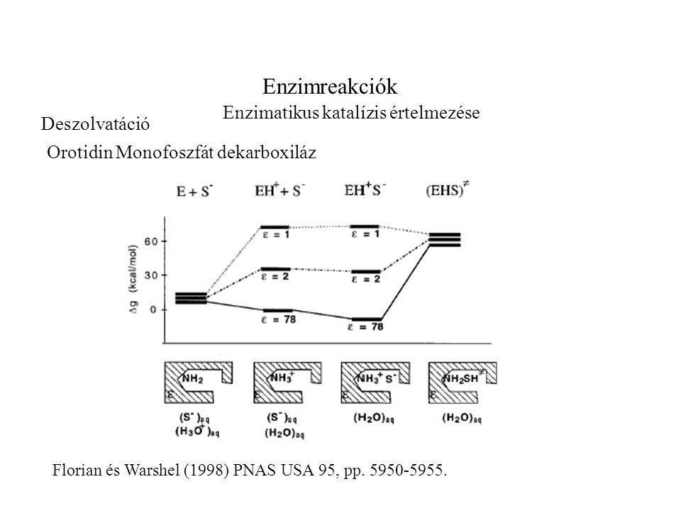 Enzimreakciók Enzimatikus katalízis értelmezése Florian és Warshel (1998) PNAS USA 95, pp.