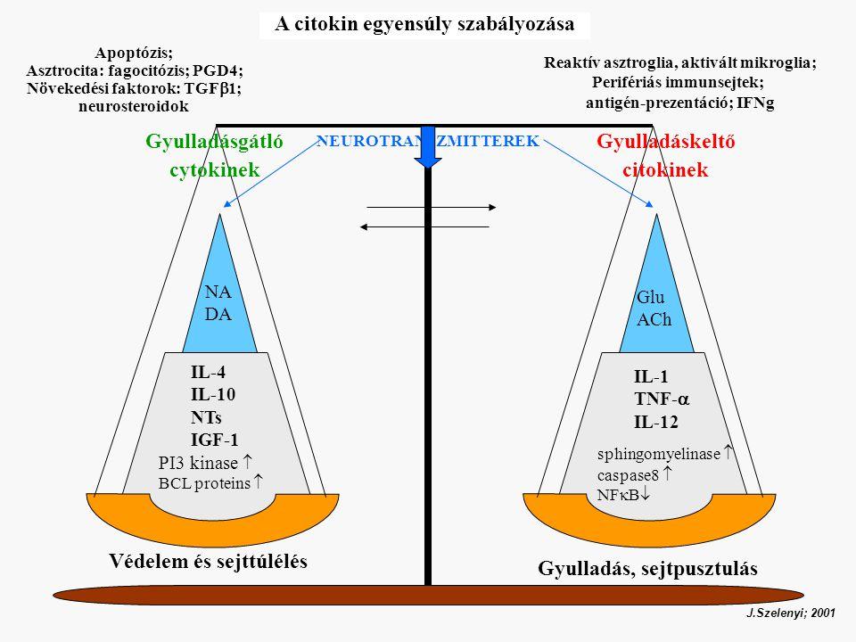 Gyulladáskeltő citokinek Gyulladásgátló cytokinek IL-4 IL-10 NTs IGF-1 IL-1 TNF-  IL-12 Védelem és sejttúlélés PI3 kinase  BCL proteins  sphingomyelinase  caspase8  NF  B  NEUROTRANSZMITTEREK Glu ACh NA DA Gyulladás, sejtpusztulás J.Szelenyi; 2001 A citokin egyensúly szabályozása Apoptózis; Asztrocita: fagocitózis; PGD4; Növekedési faktorok: TGF  1; neurosteroidok Reaktív asztroglia, aktivált mikroglia; Perifériás immunsejtek; antigén-prezentáció; IFNg